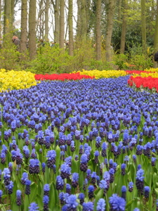 Flowers at Keukenhof Gardens